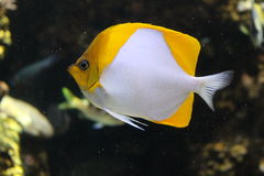 Pyramid Butterfyfish. The Pyramid Butterflyfish is a species of butterflyfish. It  can grow up to 18cm in length Royalty Free Stock Photo