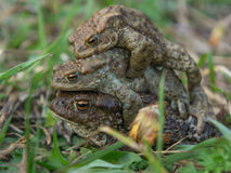 The pyramid of frogs. Three green frog lying on each other Royalty Free Stock Photography