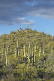 A pyramid of giant Sonoran saguaro cactus Royalty Free Stock Image