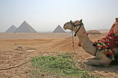 Pyramid at Lunch Break. Camel takes a well earned rest as a Heat Haze falls over the magestic Great Pyramids at Giza royalty free stock photos
