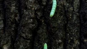 Pyramidal зеленое fruitworm вползая бесконечно вдоль ствола дерева видеоматериал