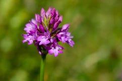Pyramidal орхидея стоковые фото