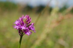 Pyramidal орхидея стоковая фотография
