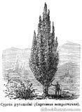 Pyramidal Cypress Stock Images