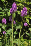 Pyramidal Orchid Stock Photography