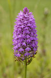 Pyramidal Orchid Royalty Free Stock Images