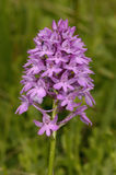 Pyramidal Orchid Stock Images
