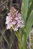Pyramidal Orchid Royalty Free Stock Photography