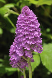 Pyramidal Orchid Stock Photo