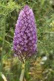 Pyramidal Orchid, Anacamptis pyramidalis, in Algarve Stock Photos