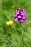 Pyramidal orchid (Anacamptis pyramidalis) Royalty Free Stock Photo