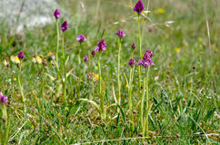 The pyramidal orchid stock images