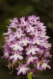 Pyramidal Orchid, Anacamptis pyramidalis Royalty Free Stock Image