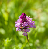 Pyramidal Orchid Royalty Free Stock Photos