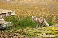 Pyramiden. Artic fox with summer fur. Pyramiden in Spitsbergen/Svalbard, a Russian mining settlement Royalty Free Stock Photos