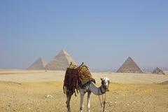 Pyramides de Gizeh avec le chameau égyptien Image stock