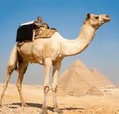 Pyramides Giza tout de chameau ensemble Image stock