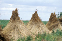 Pyramides of reed Stock Photo