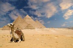 The Pyramids Camel. Camel near the Gizeh Pyramids in Cairo Egypt Stock Photo