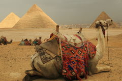 Pyramids and camels. The Pyramids at Giza in Egypt Stock Image