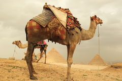 Pyramids and camels Stock Photos