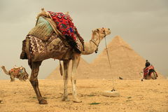 Pyramids and camels. The Pyramids at Giza in Egypt royalty free stock images
