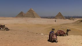 Pyramids of Giza with camel in foreground. Pyramids and camels waiting for tourists stock footage