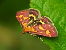 Pyrausta despicata stock photography