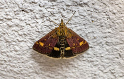 Pyrausta purpuralis moth Stock Photo
