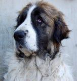 pyrean的大型猛犬 免版税库存照片