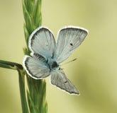 Pyrenaicus van Agriades ergane Royalty-vrije Stock Foto's