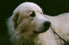 Pyrenean портрет собаки mountine стоковая фотография