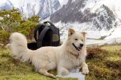 Pyrenean собака горы, предпосылка снега стоковые фотографии rf