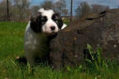 Pyrenean щенок mastiff 5 недель стоковое изображение rf