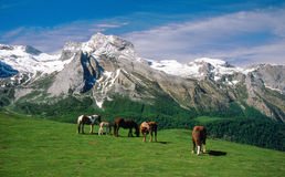 Pyrenean berghästar, Frankrike Arkivfoto