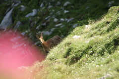 Pyrenean Chamois Stock Images