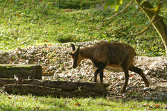 Pyrenean chamois Royalty Free Stock Photography
