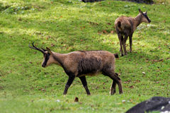 Pyrenean chamois Stock Image