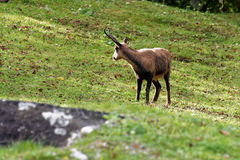 Pyrenean chamois Stock Photography