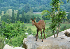 Pyrenean chamois in summer mountains Stock Photos