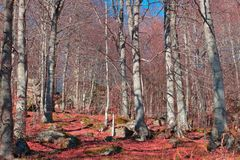Pyrenean forest with red leaves in Aude Royalty Free Stock Photo