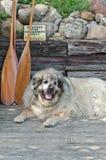 Pyrenean góra pies odpoczywa na doku w lecie zdjęcie stock