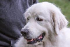 Pyrenean góra psa utrzymanie w Belgium zdjęcie stock