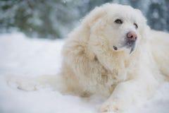 Pyrenean Gebirgshund auf Schnee Lizenzfreie Stockfotos