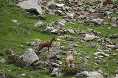 Pyrenean gemzen in de Pyreneeën stock afbeelding
