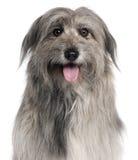 pyrenean herde för tät hund upp arkivbilder