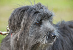 Pyrenean herdershond royalty-vrije stock fotografie