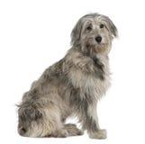 Pyrenean hond van de Herder, 7 maanden oud, het zitten stock fotografie