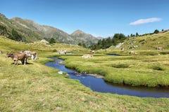 Pyrenean Kühe entlang Tristaina-Fluss, Andorra stockfoto