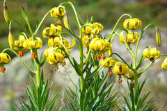 Pyrenean Lily Stock Images